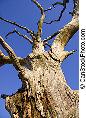 Dead tree - Old dead tree with a blue skies background