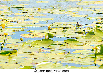 Citrine wagtail walking on Nuphar Lutea on the Dnieper river...