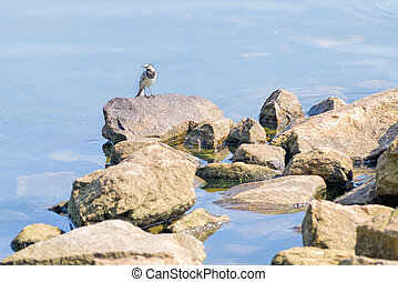 White wagtail standing on a rock close to the Dnieper river...