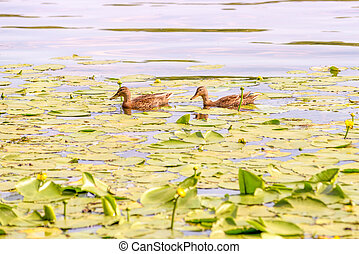 Female Ducks Swimming