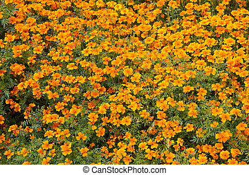 Tagetes blooming in a garden