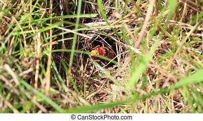 Hornet - nesting hole - Hornet is crawling out of her...