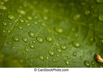 dewdrop - on green leaf drops after rain close up
