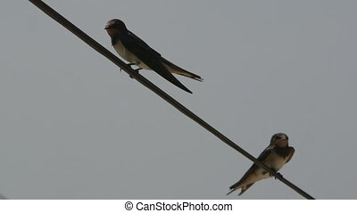 Two birds swallows sitting on wire