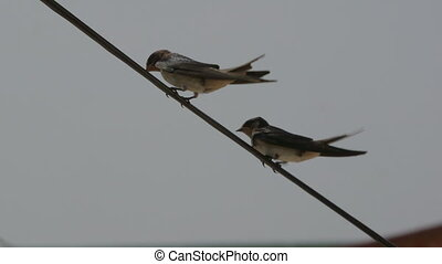 Two swallow sitting on a wire synchronously looking from...