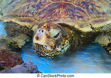 Turtle - Green see turtle, Hawaii