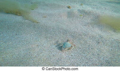 Underwater life of Black Sea swimming sand crab Macropipus...
