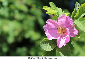 Flower of dog rose growing in nature