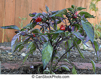 Calico Peppers - Calico Chili Peppers growing in the garden.