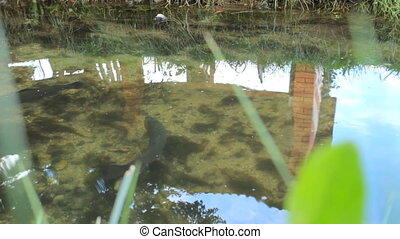Two river fish trout swimming in the pond with clear water