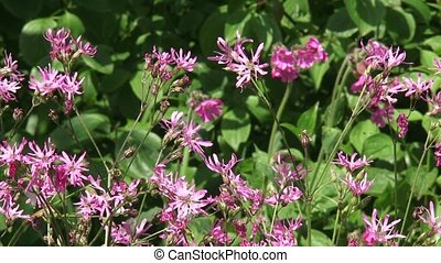 Ragged Robin blooming narrow and deeply divided pink petals...
