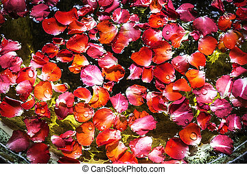 Red petal rose on water - Closeup red petal rose on the...