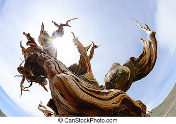 Bristlecone - a thousand year old living bristlecone tree in...