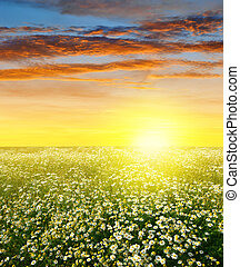 field of marguerites at sunset - Summer landscape with field...