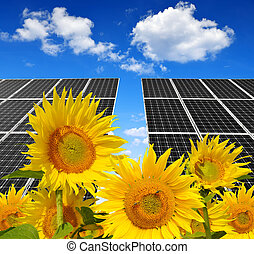 solar panels with sunflowers - Blooming sunflowers in the...