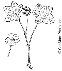 Cloudberry or Backed Apple Berry - Rubus chamaemorus