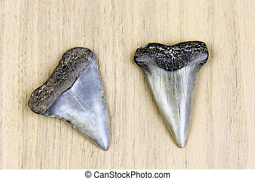 Megalodon Sharks Teeth Fossil - Two Megalodon sharks teeth...
