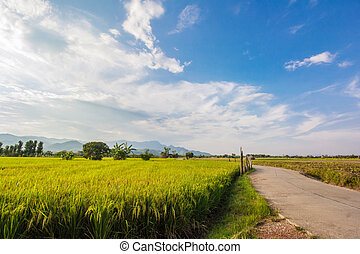 Rice field at Chiangrai Province, Northern Thailand