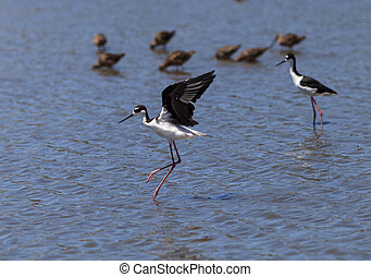 Black-necked stilt, Himantopus mexicanus, shore bird