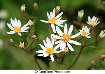 Calico Aster - Small white flowers from Calico Aster