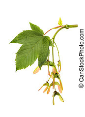 Sycamore, Acer pseudoplatanus, leaf and seeds isolated...