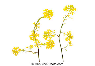 rapeseed - Yellow Rapeseed flowers isolated against white
