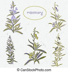 set of rosemary flowers and decoration elements watercolor...