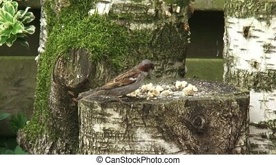 House sparrow, Passer domesticus feeding on bread crumbs on...