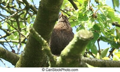 Blackbird in tree, alarm call - low angle The blackbird has...