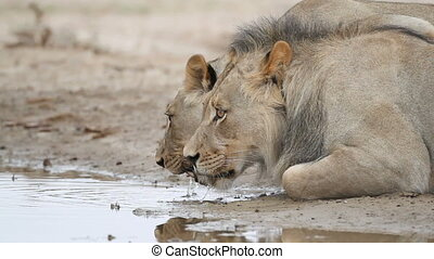 African lions drinking - Pair of a African lions Panthera...