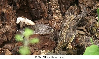 European grass snake in tree trunk - European grass snake or...