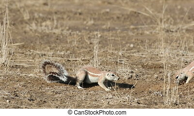 Playing ground squirrels - Ground squirrels (Xerus inaurus)...