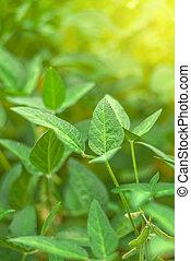 Soybean crops in field, soya bean growing on plantation,...