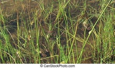 Croaking Green frogs (Pelophylax) in marsh. Green frogs live...