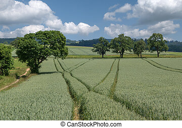 Lanes in the green wheat field - Branched lanes in a green,...