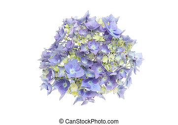 Hydrangea head - Blue Hydrangea flower head isolated against...