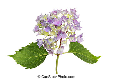 Hydrangea - Mophead hydrangea flower and foliage isolated...