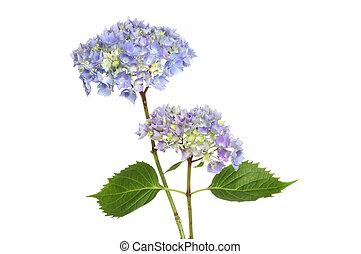 Hydrangea flowers - Two blue mophead hydrangea flower heads...