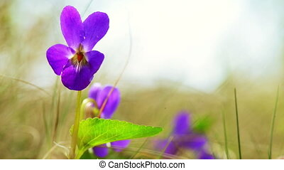 Viola Odorata Bloom - Purple flower viola odorata in spring...