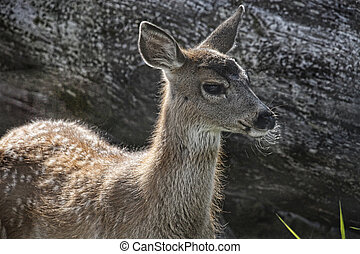 Sitka Black-Tailed Deer Fawn - Sitka Black-Tailed deer fawn...