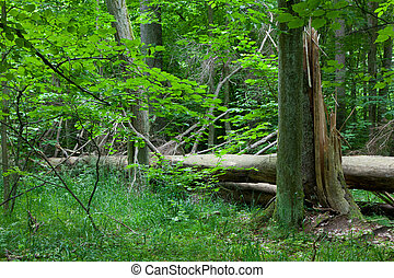 Old broken spruce in summertime forest stand - Old broken...