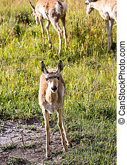 Pronghorn Antelope Fawn - A baby pronghorn antelope on the...