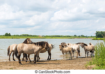 Dutch river landscape with horses - Dutch river Nederrijn...