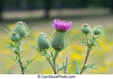 Purple thistle - Blooming purple thistle in nature