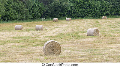Hay rolls on a field - Seven hay rolls on a field and trees...