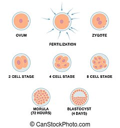Development of the human embryo. Images of stages from ovum...