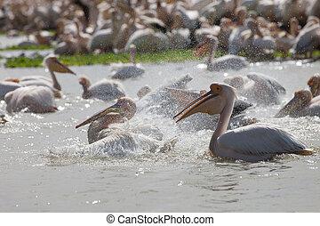 Pelican, Senegal - Pelicans, Djoudi national park,Senegal