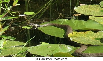 European grass snake or ringed snake (natrix natrix) -...