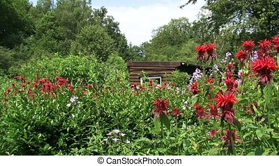 Wooden shed in summer garden + pan bergamot (Monarda didyma)...