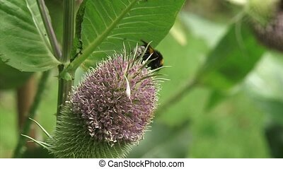 Wild bee feeds on nectar Teasel, blooming in a belt around...